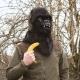 Mr Gorilla thumbnail image 0