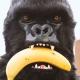Mr Gorilla thumbnail image 2
